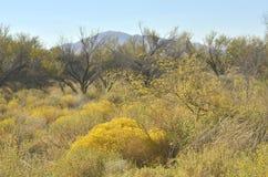 黄色开花的沙漠植物和山风景 免版税库存图片