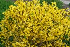 黄色开花的灌木-,明亮的连翘属植物 免版税库存照片