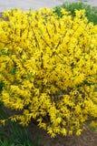 黄色开花的灌木-,明亮的连翘属植物 免版税库存图片