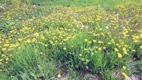 黄色开花的蒲公英在草甸 在他们中来退色,蓬松 影视素材
