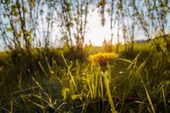 黄色开花的蒲公英 库存图片