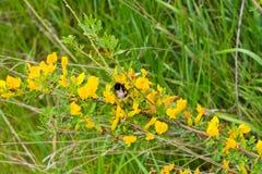 黄色开花的金合欢 库存照片