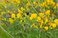 黄色开花的金合欢 免版税库存照片