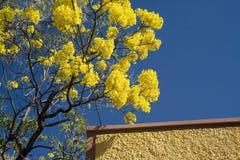 黄色开花的Tabebuia结构树 库存照片