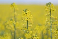 黄色强奸领域金黄黄色油菜籽领域在罗马尼亚 免版税库存照片
