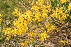 黄色强迫在春天开花连翘属植物europaea在一个被弄脏的绿色背景宏指令 图库摄影