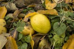黄色成熟水多的梨 免版税库存图片