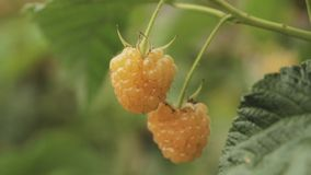 黄色或金黄莓 莓 成熟莓在果子庭院里 全景,全景 股票录像