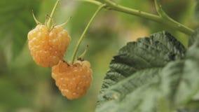 黄色或金黄莓 莓 成熟莓在果子庭院里 全景,全景 股票视频