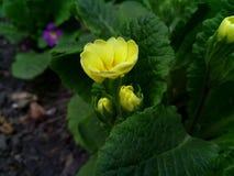 黄色报春花花在树荫下 图库摄影
