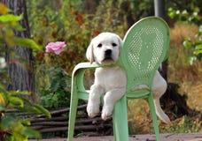 黄色拉布拉多小狗在庭院里 库存照片