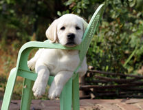 黄色拉布拉多小狗在庭院里 库存图片