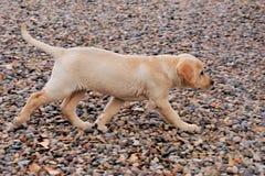 黄色拉布拉多小狗小跑迷离的照片 库存图片