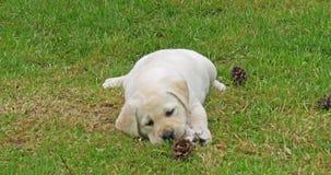 黄色拉布拉多猎犬,使用与在草坪的杉木锥体,诺曼底的小狗在法国,慢动作 股票视频