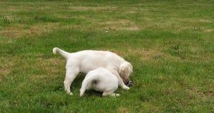 黄色拉布拉多猎犬,使用在草坪,诺曼底的小狗在法国,慢动作 股票视频