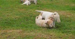 黄色拉布拉多猎犬,使用在草坪,诺曼底的小狗在法国,慢动作 股票录像