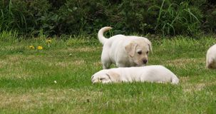 黄色拉布拉多猎犬,使用在草坪,诺曼底的小组小狗在法国,慢动作 股票视频
