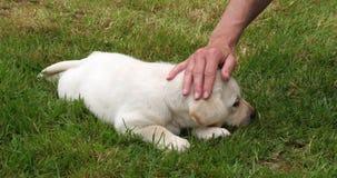 黄色拉布拉多猎犬,小狗使用与他的草坪的女主人的,诺曼底在法国,慢动作 股票视频