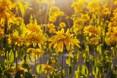 黄色新雏菊领域,开花的春天开花在温暖的日落,野花草甸,平安的沼地,美丽的庭院 免版税库存照片