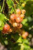 黄色无核小葡萄干莓果的开花的布什在庭院里 闪耀在垂悬从胸罩的夏天太阳束成熟水多的红浆果莓果 免版税库存图片