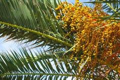 黄色日期在棕榈树,特写镜头增长 库存图片