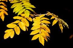 黄色明亮的叶子在阳光下 金黄秋天 太阳的光芒在叶子落 花揪五颜六色的叶子  库存图片
