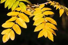黄色明亮的叶子在阳光下 金黄秋天 太阳的光芒在叶子落 花揪五颜六色的叶子  免版税库存图片