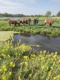 黄色春天叶子和母牛在绿色象草的荷兰草甸在好日子在乌得勒支附近的荷兰 库存照片