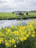 黄色春天叶子和母牛在绿色象草的荷兰草甸在好日子在乌得勒支附近的荷兰 图库摄影