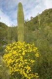 黄色春天开花柱仙人掌仙人掌 免版税库存照片