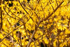 黄色春天开花的灌木花-连翘属植物intermedia 免版税图库摄影