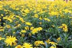 黄色春天花在庭院里 库存图片