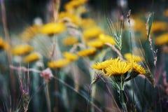 黄色春黄菊与影片过滤器的草甸特写镜头 图库摄影