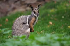 黄色有脚的岩石鼠-岩石大风xanthopus -澳大利亚袋鼠 免版税库存照片