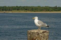 黄色有腿的鸥坐混凝土停泊系船柱鸥属michahellis 库存照片