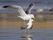 黄色有腿的鸥,鸥属cachinnans 免版税图库摄影