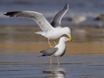 黄色有腿的鸥,鸥属cachinnans 免版税库存图片