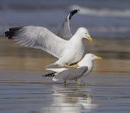 黄色有腿的鸥,鸥属cachinnans 库存图片