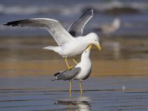 黄色有腿的鸥,鸥属cachinnans 免版税库存照片