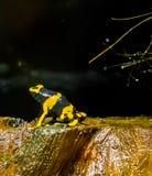 黄色朝向的蜂毒物箭青蛙一只极端危险毒玻璃容器两栖宠物 免版税图库摄影