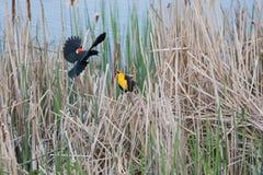 黄色朝向黑鹂和美洲红翼鸫 免版税库存图片