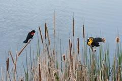 黄色朝向黑鹂和美洲红翼鸫 免版税库存照片