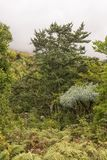 黄色木材树、山Kiepersol和在Draken的树蕨 免版税库存图片