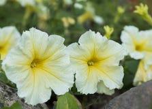 黄色木槿花 开花的花在花圃里 免版税图库摄影