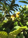 黄色果子 免版税库存照片