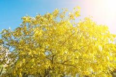 黄色树和蓝天,秋天场面,太阳发出光线 免版税库存图片
