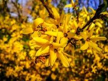 黄色树花 免版税库存图片