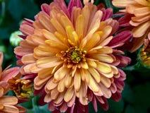 黄色桃红色和紫色菊花 库存照片