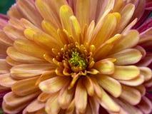 黄色桃红色和紫色菊花 免版税库存照片
