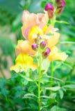 黄色桃红色花,夏天背景 免版税图库摄影